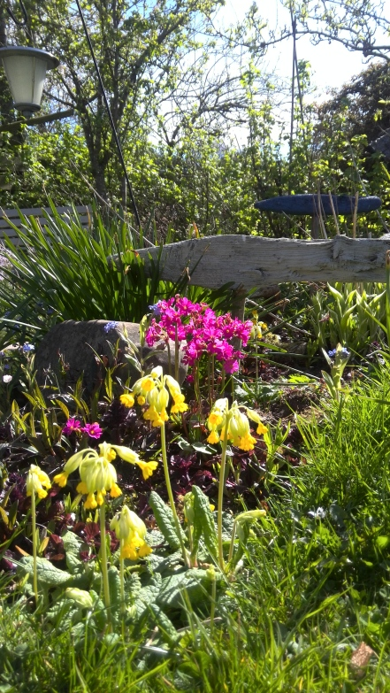 Primula's by the pond