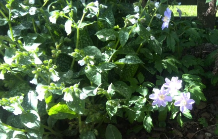 Pulmonaria and Anemone in flower