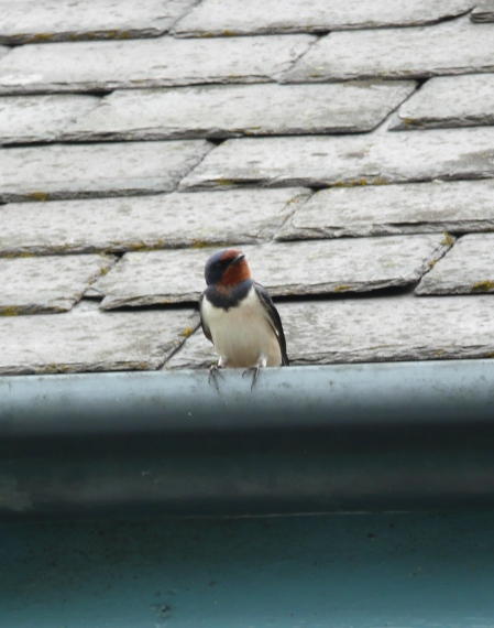 Swallow 4