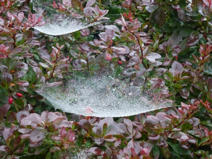 Cob-web dew on Berberis